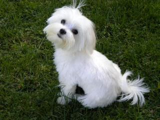 Maltese Puppies Of White Passion - Dog Breeders