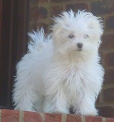 Susen's Maltese - Dog and Puppy Pictures