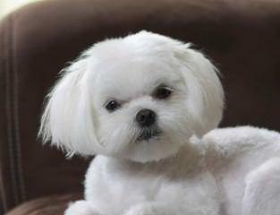 Designer Mi-Ki Maltese Malti Poos - Dog Breeders