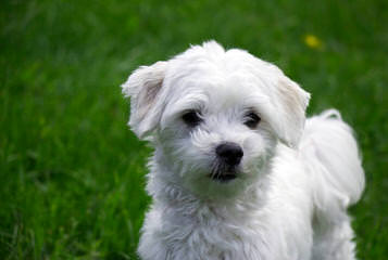Puppies Availible Now! Akc, Aca,Apr Yorkies, Maltese, Chihuahus, And More - Dog Breeders