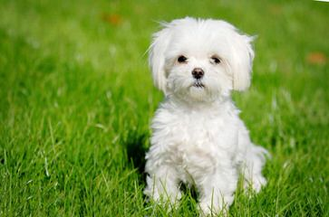 MyCarboncopy Maltese - Dog Breeders