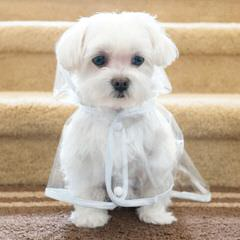 Maltese & Yorkies Purebred Akc & Mix Pittsburgh / Md / Dc Morkies Maltepoos Cutest Designer - Dog Breeders