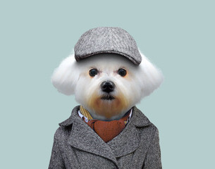 Maltese Stud Service - Dog Breeders