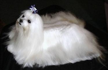 My Sweety Pie Puppies – New Litter Born Around Nov. 5Th! - Dog Breeders