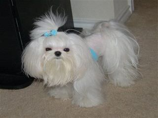 Maltese & Yorkies Purebred Akc & Mix Pittsburgh / Md / Dc Morkies Maltepoos Cutest Designer - Dog Breeders