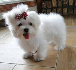 Little Patch Of Heaven Maltese - Dog Breeders