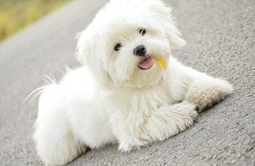 MyCarboncopy Maltese - Dog Breeders