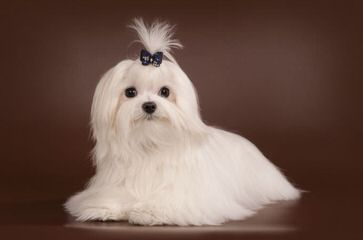 Little Patch Of Heaven Maltese - Dog Breeders