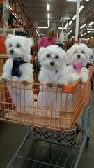 carmidanick maltese - Dog Breeders