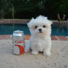 Sweet Angels Maltese - Dog Breeders