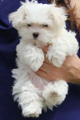 Maltese Toy And Teacups Now Available - Dog Breeders