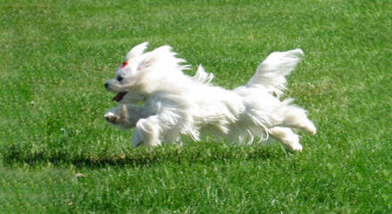 Looking To Breed Maltese - Dog Breeders