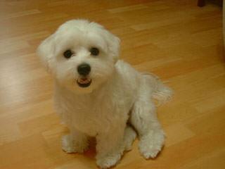 Cherub Maltese - Dog Breeders
