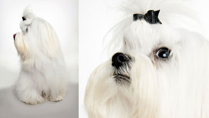Silver Brook Maltese Puppies - Dog Breeders