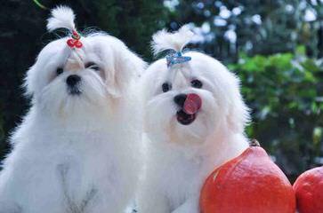 Monsieur Bijou - Dog Breeders