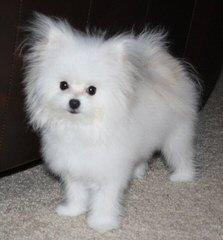 Maltese Angel Babies - Dog Breeders
