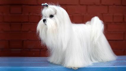 Malti-Pom Puppies - Dog Breeders