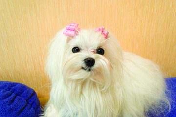 Josymir Maltese - Dog Breeders