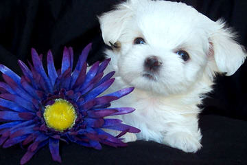 Susen's Maltese - Dog Breeders