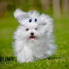 Terrific Maltese Home - Dog Breeders
