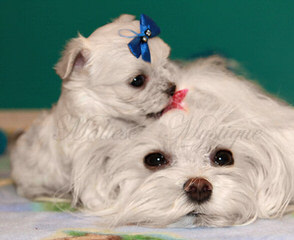 Maltese - Dog Breeders