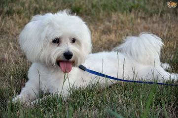 Maltese Puppy And Shih Tzu Need A Good Home - Dog Breeders