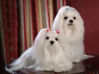 Cherub Maltese - Dog and Puppy Pictures
