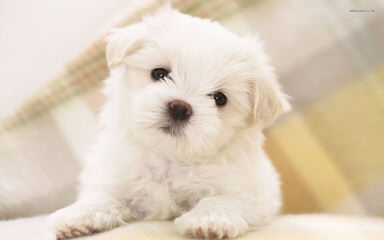 Terrific Maltese Home - Dog and Puppy Pictures