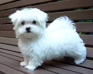 MyCarboncopy Maltese - Dog and Puppy Pictures