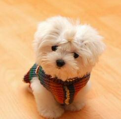 Maltese Stud Service - Dog and Puppy Pictures