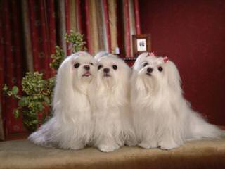 Malti-Poos For Sale - Dog and Puppy Pictures