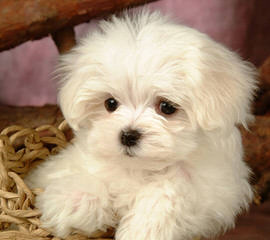 Maltese - Dog and Puppy Pictures