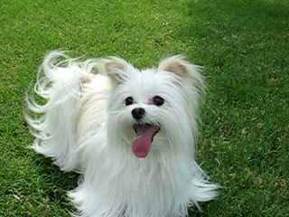 Maltese Puppies - Dog Breeders