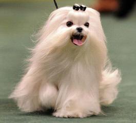 Maltese For Adoption - Dog Breeders