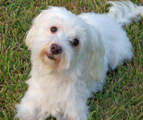 Maltese For Adoption - Dog Breeders