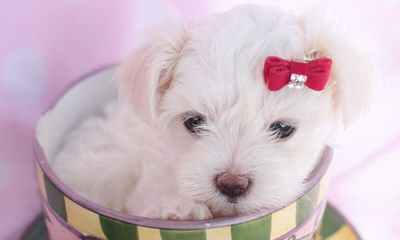 Hollywood Puppies - Dog Breeders