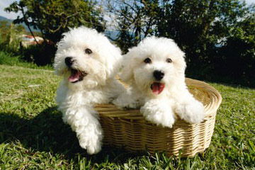Maltipoo Pups - Dog Breeders