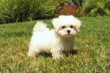 Buttercup Puppies - Dog Breeders