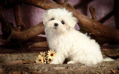 Maltese Angel Babies - Dog Breeders