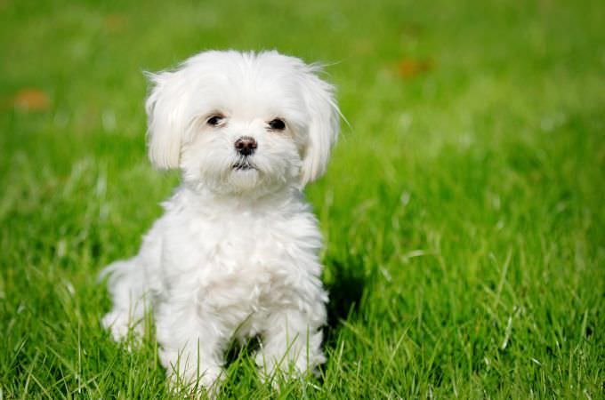 Malti Poo Dogs and Puppies