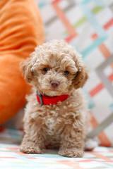 Maltipoo Furbabies – Adorable Home Raised Maltipoo Puppies - Dog Breeders