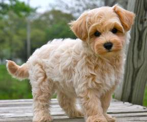 Robins Cockapoos, Maltese, Maltipoos And Small Breeds - Dog Breeders