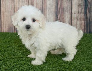 Riverside Puppies: Home Raised Maltipoos - Dog Breeders
