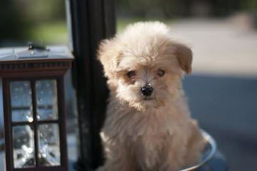 Oodles Of Poodles And Poodle Mixes - Dog Breeders