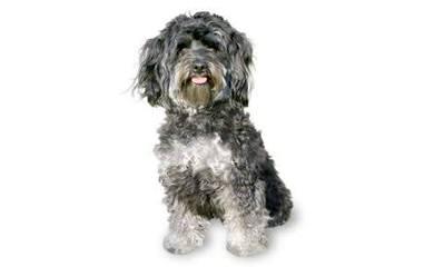 Maltipoo Pups - Dog Breeders