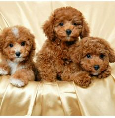 North Country Kennels – We Specialize In Mixes! Maltipoos And Yorkie-Poos - Dog Breeders