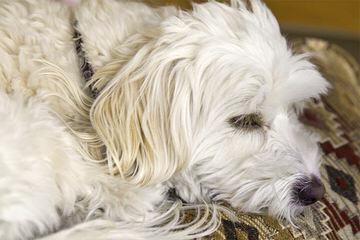 Dare's Little Darlings - Dog Breeders
