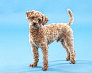 Maltipoo puppys - Dog Breeders