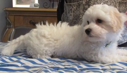 Dawns Dawgs – Malti Poo, Morkies And Yorki Poos - Dog Breeders