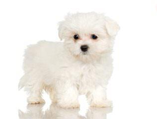 Looking To Breed Maltese - Dog Breeders